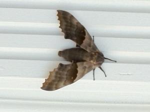 Moth-6.4.13
