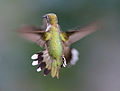 120px-Hummingbird_Aerodynamics_of_flight