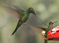 120px-Sword-billed_Hummingbird_(Ensifera_ensifera)