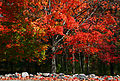 120px-Lone_multicolored_maple