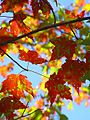 90px-Red_green_maples