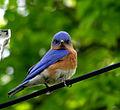 120px-Eastern_bluebird
