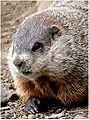 89px-Closeup_groundhog