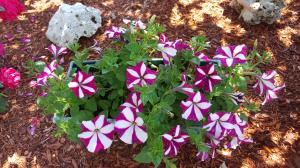 Petunia striped 2016