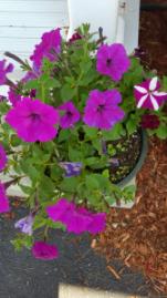 Petunias front 2 2016