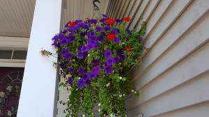 Petunias hanging basket 2016
